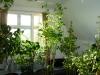 Habanero Chocolate - udvokset plante