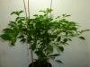 Habanero Hot Lemon - 12 uger