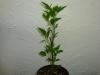 Habanero Hot Lemon - 3 uger