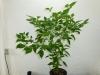 Habanero Hot Lemon - 9 uger
