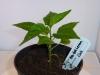 Habanero Hot Lemon - 15 uger
