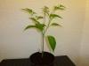 Habanero Hot Lemon - 24 uger