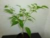 Habanero Hot Lemon - 27 uger