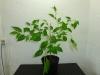 Habanero Hot Lemon - 30 uger