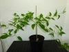 Habanero Hot Lemon - 33 uger