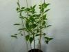 Habanero Hot Lemon - 36 uger
