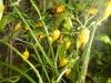 Habanero Hot Lemon - giver godt