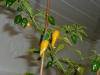 Habanero Hot Lemon - mange frugter