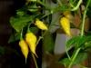 Habanero Hot Lemon - modne frugter