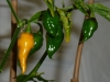 Habanero Hot Lemon - umoden frugt
