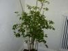 Habanero Hot Lemon - voksen plante