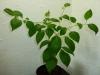 Habanero Pastel - 30 uger