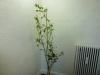 Habanero Pastel - udvokset plante