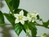 Habanero Peach - blomst