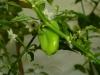 Habanero Peach - umoden frugt 2