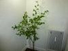 Habanero Peach - voksen plante