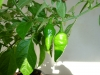 Habanero Punta Giallo - umodne frugter
