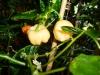 Habanero Roatan Pumpkin - lyse modningsfarver