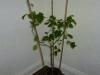 Habanero Roatan Pumpkin - voksen plante