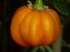 Habanero Roatan Pumpkin