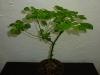 Habanero White - 12 uger