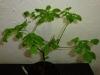 Habanero White - 15 uger