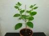 Habanero White - 25 uger