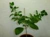 Habanero White - 31 uger