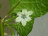 Habanero White - blomst