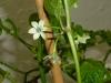 Habanero White - blomster