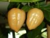 Habanero White - modne frugter 1