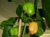 Habanero White - umodne frugter