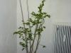 Habanero White - voksen plante