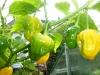 Habanero Yellow Bumpy - frugter på vej
