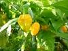 Habanero Yellow Bumpy - mange frugter på vej
