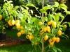 Habanero Yellow Bumpy - voksen plante