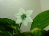 Habanero Zavory - blomst