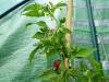 Habanero Zavory - umodne frugter