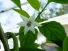 Jalapeño Colima - blomst