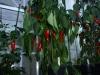 Jalapeño Colima - færdig plante