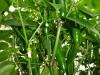 Jalapeño Colima - umodne frugter 2