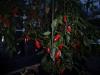 Jalapeño Coyame - færdig plante