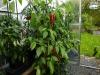 Jalapeño Mammoth - fuld størrelse plante