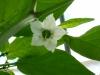 Jalapeño Master - blomst