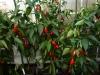 Jalapeño Master - færdig plante