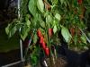 Jalapeño Pequis - færdig plante 1