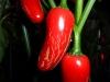 Jalapeño Pequis - moden frugt 3