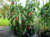 Jalapeño Tajin - frugter på plante