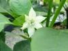 Jalapeño Tormenta - blomst
