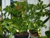 Vivi\'s White (not Jellybean) - færdig plante 2